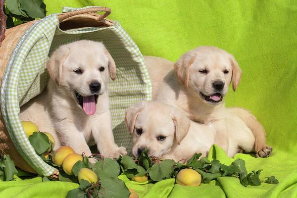Labrador Retriever Photograph - Three Yellow Labrador Retriever Puppies by Zandria Muench Beraldo