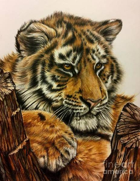 Sumatran Drawing - Tiger Cub by Art By Three Sarah Rebekah Rachel White