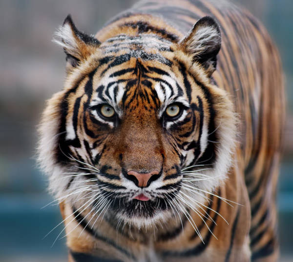 Big Cat Wall Art - Photograph - Tiger by Freder