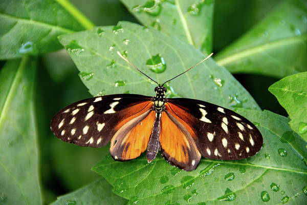 Photograph - Tiger Longwing Butterfly  by Jennifer Wick