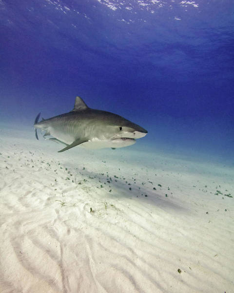 Wall Art - Photograph - Tiger Shark Swimming Over Rippled Sand by Brent Barnes