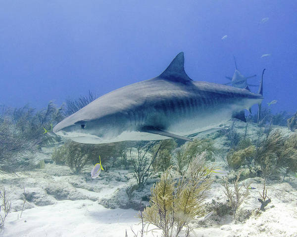 Wall Art - Photograph - Tiger Shark With Great Hammerhead by Brent Barnes
