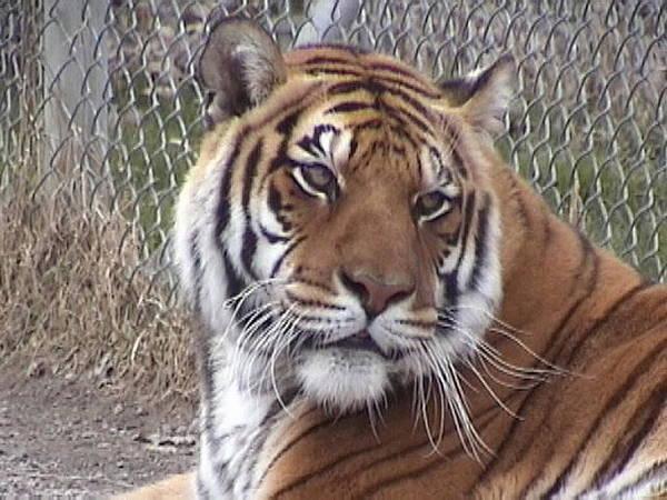 Photograph - Tigerlily by Barbara Keith