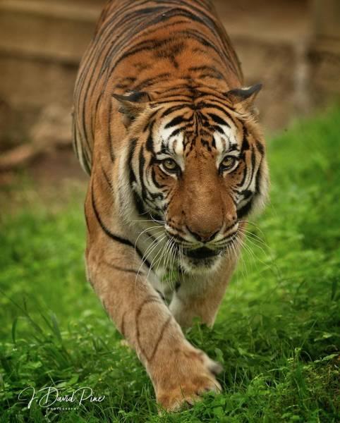 Photograph - Tigress by David Pine