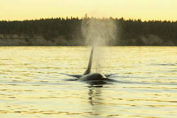 Wall Art - Photograph - Transient Orca Whales Near D'arcy by Stuart Westmorland