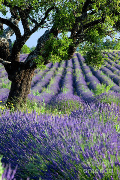 Photograph - Tree In Lavender by Brian Jannsen