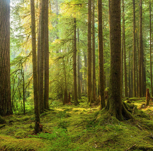 Wall Art - Photograph - Trees In A Forest, Ancient Groves by Panoramic Images