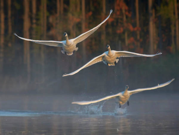 Wall Art - Photograph - Trumpeter Swan Trio Flying, Magness by