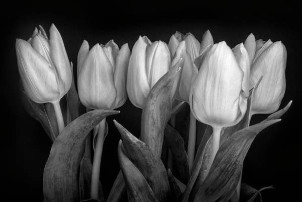 January Photograph - Tulip Study by Niall Whelan