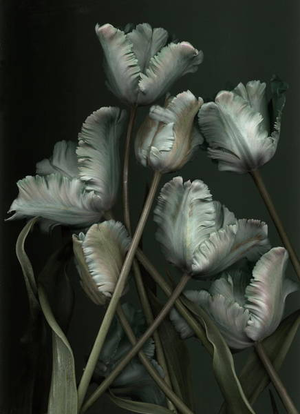 Season Photograph - Tulips by Antonius Antonius
