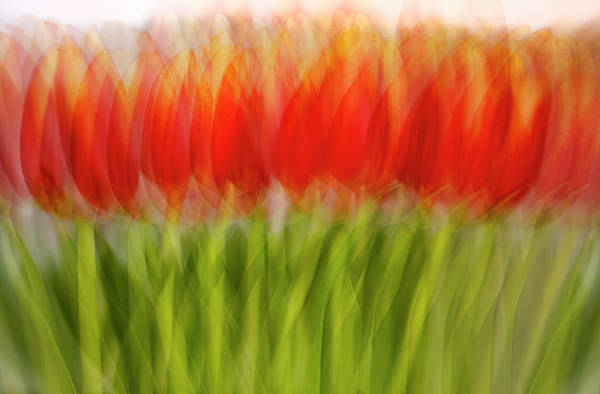 Photograph - Tulips by John Rodrigues