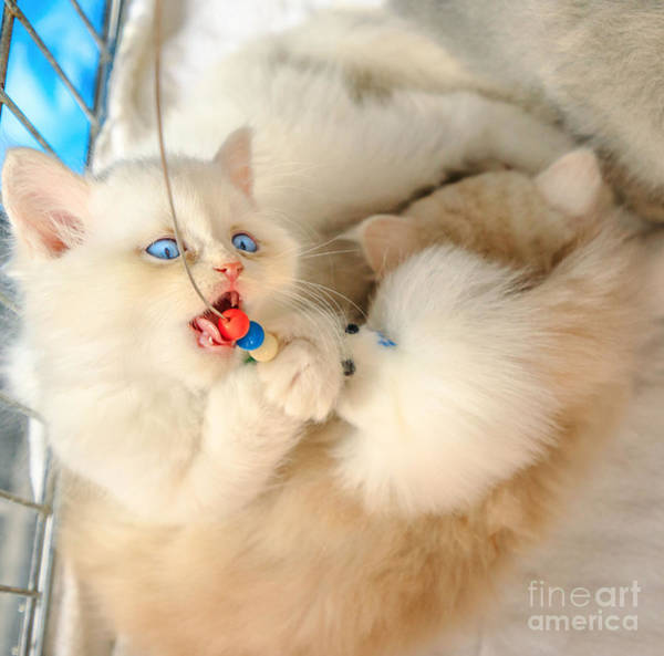 Photograph - Turkish Angora Cat In Pet Store by Benny Marty