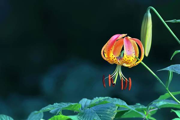 Photograph - Turkish Cap Lily  by Carol Montoya