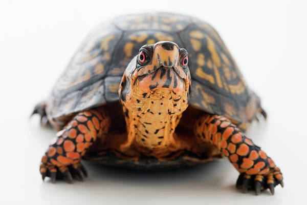 Box Turtle Photograph - Turtle Terrapene Carolina Carolina by Jose Luis Pelaez