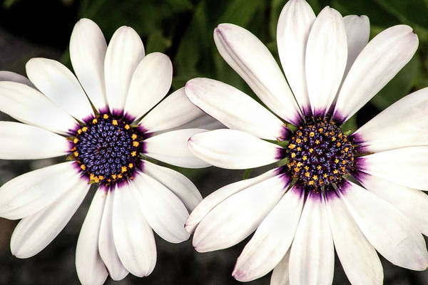 Photograph - Two African Daisies by Don Johnson