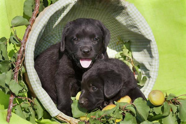 Wall Art - Photograph - Two Black Labrador Retriever Puppies by Zandria Muench Beraldo