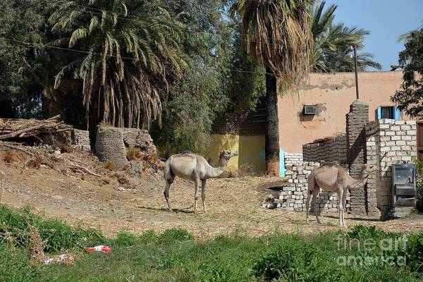 Wall Art - Photograph - Two Camels by Andrea Simon