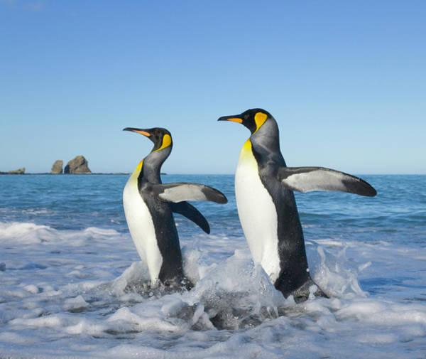 Wall Art - Photograph - Two King Penguins Aptenodytes by Eastcott Momatiuk