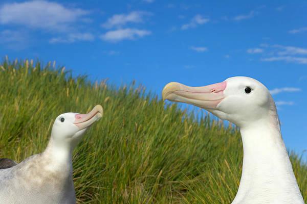 Wanderings Photograph - Two Wandering Albatross Diomedea by Eastcott Momatiuk