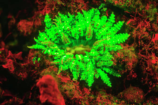 Wall Art - Photograph - Underwater Fluorescence Emitted by Stuart Westmorland