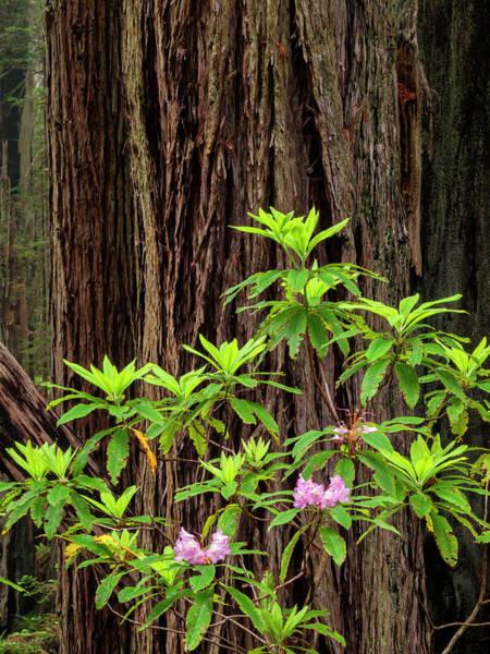 Redwood City Wall Art - Photograph - Usa, California, Redwood National by Ann Collins