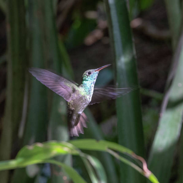 Versicolored Emerald Hummingbird Hovers Art Print