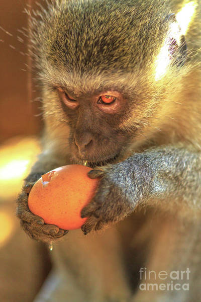 Photograph - Vervet Monkey Eating by Benny Marty