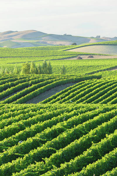 Vertical Landscape Photograph - Vineyard Landscape by S. Greg Panosian