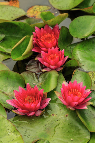 Wall Art - Photograph - Water Lily Near Victoria, British by Stuart Westmorland