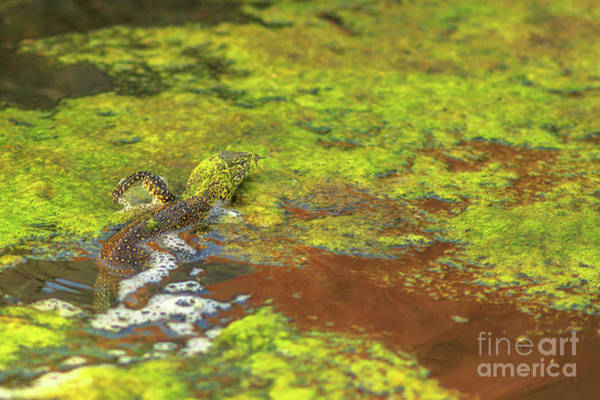 Photograph - Water Monitor Lizard by Benny Marty