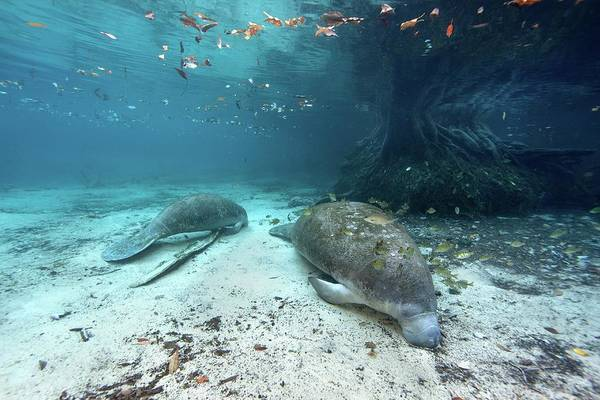 Manatee Photograph - West Indian Manatees by James R.d. Scott