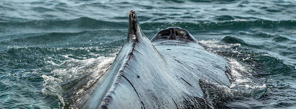 Wall Art - Photograph - Whale In The Ocean, Southern Ocean by Panoramic Images