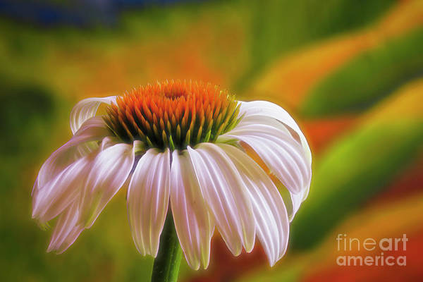 Wall Art - Photograph - White Coneflower by Veikko Suikkanen