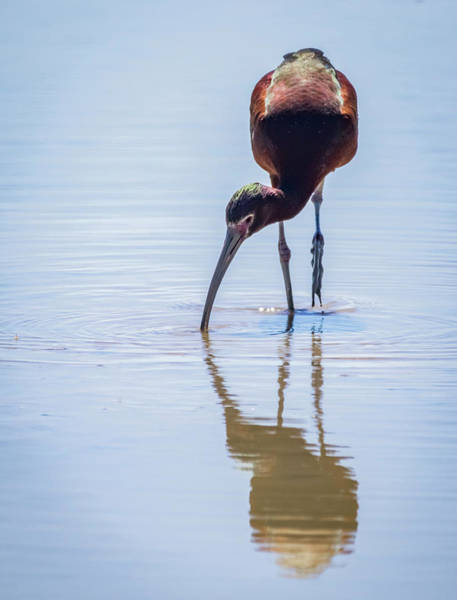 Photograph - White Faced Ibis by Michael Chatt