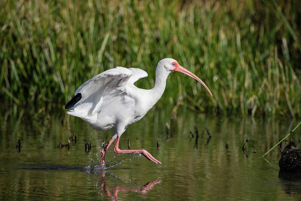 Wall Art - Photograph - White Ibis (eudocimus Albus by Larry Ditto