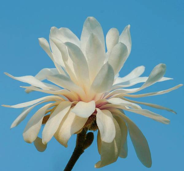 Photograph - White Magnolia by Susan Rydberg