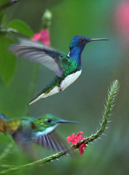 Wall Art - Photograph - White-necked Jacobin And Golden-tailed by