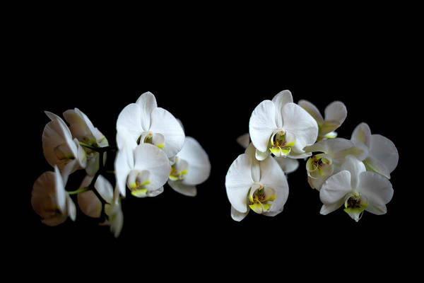 Wall Art - Photograph - White Orchid by Svetlana Sewell