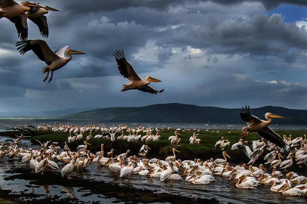 American White Pelican Wall Art - Photograph - White Pelicans At Lake Nakuru by Manoj Shah