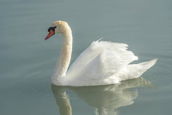 Wall Art - Photograph - White Swan by Jim Engelbrecht