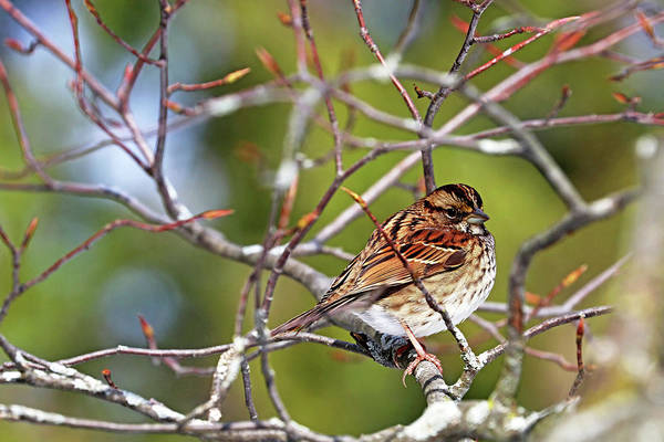 White-throated Sparrow Photograph - White Throated Sparrow by Debbie Oppermann