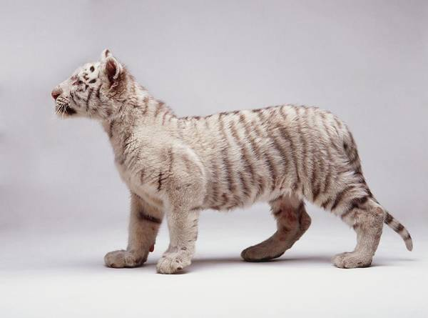 Wall Art - Photograph - White Tiger Cub, Panthera Tigris, With by Peter Downs