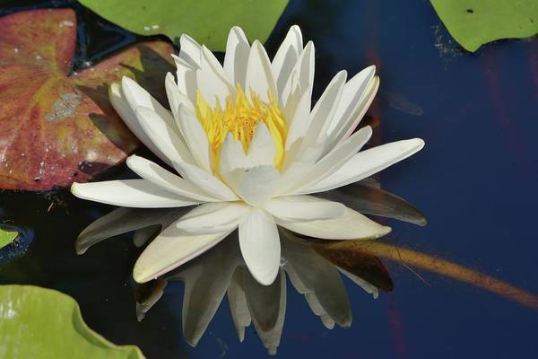 Photograph - White Water Lily by Bradford Martin