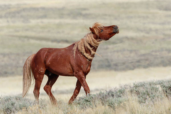 Photograph - Wild Stallion by Ronnie and Frances Howard