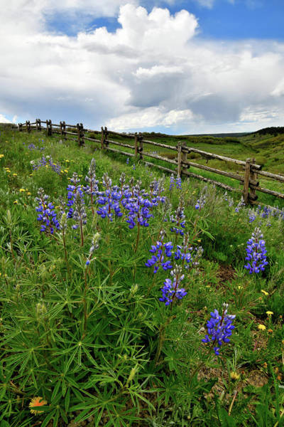 Photograph - Wildflowers Along Last Dollar Road by Ray Mathis
