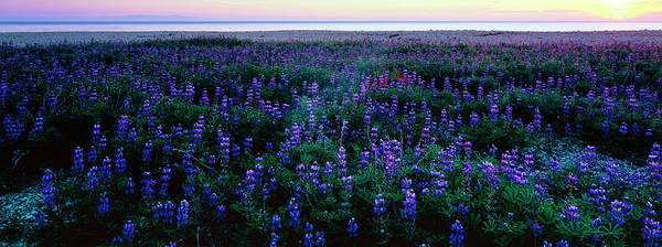 Wall Art - Photograph - Wildflowers At The Coast, Portuguese by Panoramic Images