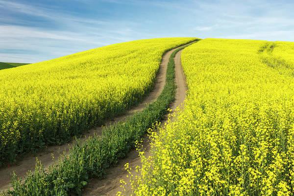 Wall Art - Photograph - Winding Dirt Road Through Yellow Field by Adam Jones