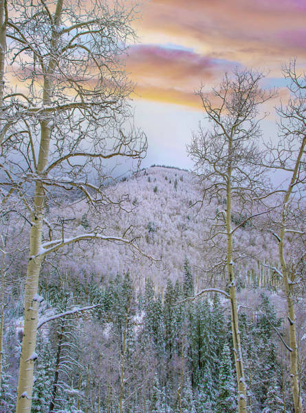 Photograph - Winter Quaking Aspen, Aspen Vista by Tim Fitzharris