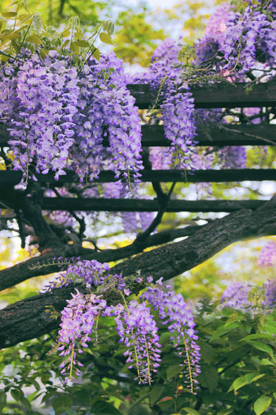 Wall Art - Photograph - Wisteria In Bloom by Jessica Jenney