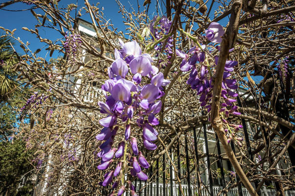 Photograph - Wisteria On Metal Garden Fence With A Street View by Alex Grichenko
